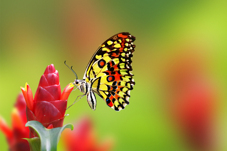 الفراشة
